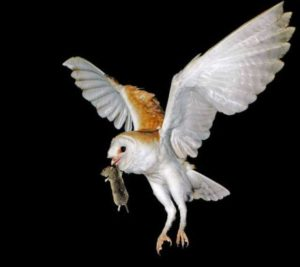 owl-with-rat